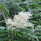 Goat's beard/Bride's feathers