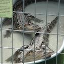 North American Alligator