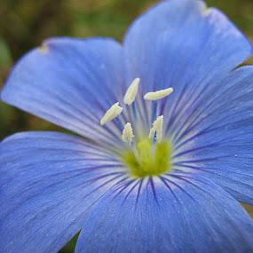 Flower by Alexandra Rafaila - Flowers Single Flower ( indigo, macro, nature, single flower, blue, flower,  )