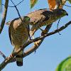 Gavião Carijó (Roadside Hawk)
