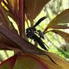 Synoeca Social Wasp