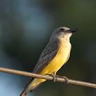 Surirí real (Tropical kingbird)