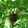 Paradise Flycatcher (Nest)