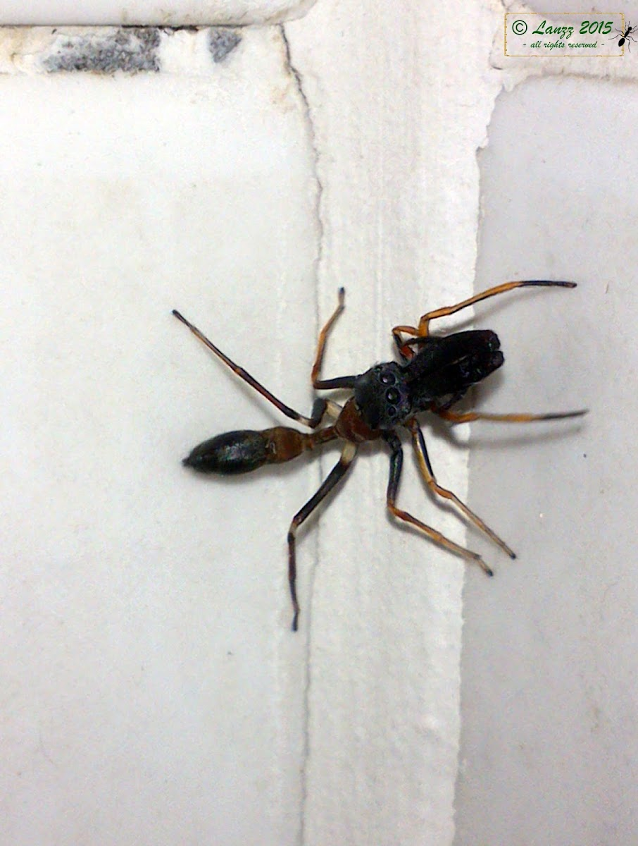 Unidentified Ant-Mimic Spider