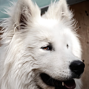Leo by Milica Đorđević - Animals - Dogs Portraits ( white dog, dog portrait, samoyed )