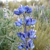Andean lupin