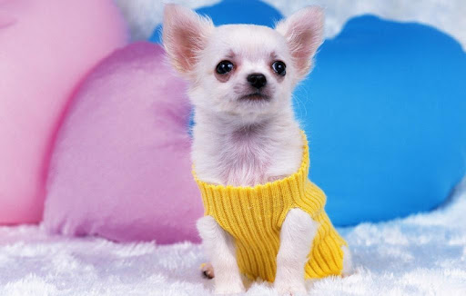 Chihuahuas Wallpapers HD