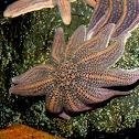 Reef Starfish