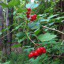Highbush cranberry