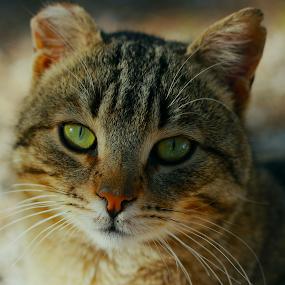 by Şahin Kaplan - Animals - Cats Portraits
