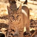 Bobcat, Juvenile