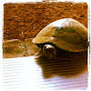 Alabama red- bellied turtle (female)