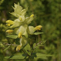Yellow rattle, Zottiger Klappertopf