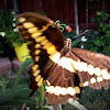 Eastern Giant Swallowtail butterfly