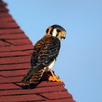 An American Kestrel falcon, sometimes called a sparrow hawk, at Orange Valley Mill in Saint Mary, Antigua.