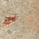 Eastern Polyphemus Moth