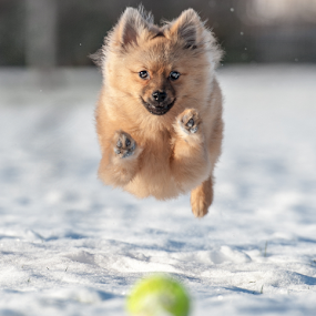 HUGO ON THE BALL by Michael  M Sweeney - Animals - Dogs Playing ( dog park, natural light, playful, nikon puppy, michael m sweeney, alive, freezing, running, pretty, cute dogs, photography, playing, epic, pom, nikondog, frosting, happy, nikon, climate, photographic, ball, nikonshooter, curiosity, play, nikon d, professional, photo, picture, pro, puppy, fast, dog, natural, pomeranian )