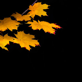 Yellow Maple leaves. by Per-Ola Kämpe - Nature Up Close Leaves & Grasses ( autumn, fall, yellow, leaf, leaves, maple, color, colorful, nature,  )