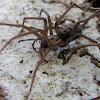 Dust spider,Tecedeira-de-funil-dos-celeiros