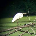 Great Blue Heron - white morph?