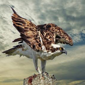 Landing osprey by Sandy Scott - Digital Art Animals ( birds of prey, landing osprey, raptors, osprey,  )