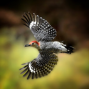 Free by Liz Crono - Animals Birds ( flight, red-bellied, animals, woodpecker, birds )