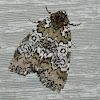 Owl-eyed Bird Dropping Moth
