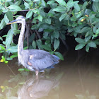 Great Blue Heron (subadult)