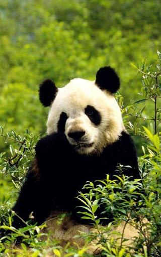 玩個人化App|熊貓動態壁紙免費|APP試玩