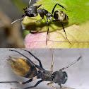Black ant mimic spider