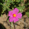 White-leaved Rockrose
