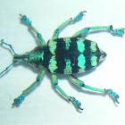 Eupholus Weevil (sp) (preserved)