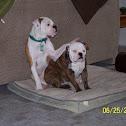 american bulldog and a victorian bulldog