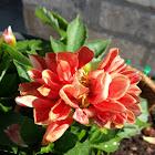 Red Orange Dahlia