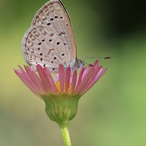 Tiny Tot by Charlene Bacchioni - Animals Insects & Spiders ( butterfly, macro, wings, pink, small, flower,  )