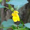 Yellow Jewelweed