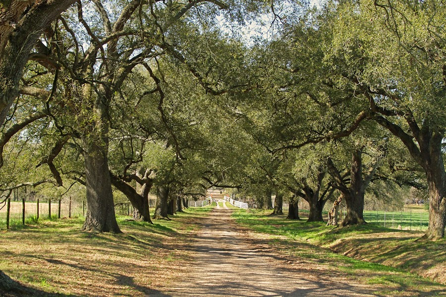 Oak tree lane by Ron Olivier - Novices Only Landscapes ( louisiana, oak tree lane )