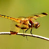 Painted skimmer, male