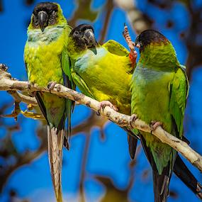 Waving Parakeet by Ken Wade - Animals Birds ( nandayus nenday, black-hooded parakeet, transplants, king gillette ranch, santa monica mountains,  )