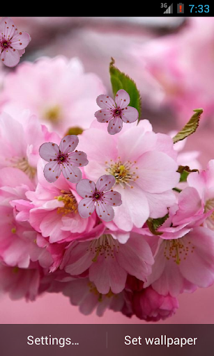 Cherry Flower Live Wallpaper
