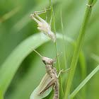 Shorthorn (Short Antennae) Grasshopper
