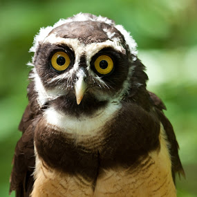 Spectacled owl by George Holt - Animals Birds ( bird, spectacled owl, spectacled, owl, molting, eyes,  )