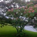 """Silk tree, """"Mimosa"""""""