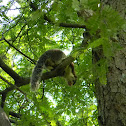 Grizzled Indian Squirrel