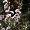 Apple Blossom Tea Tree