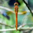 Coral-tailed Cloudwing