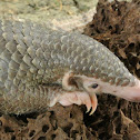 Palawan Scaly Anteater