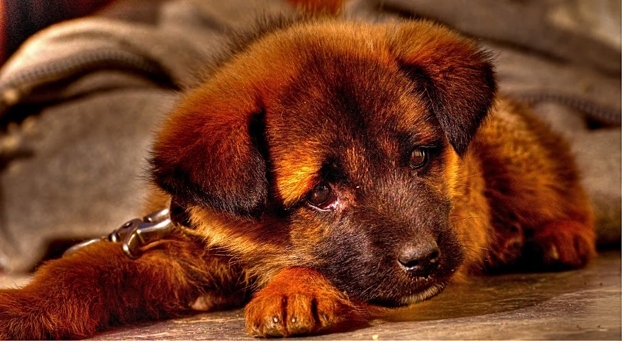 The Innocent GSD Puppy by Sudipto Bhaumik - Animals - Dogs Puppies ( , #GARYFONGPETS, #SHOWUSYOURPETS )