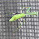 Praying Mantis #2