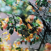 Oriental White-eye in Marmalade Bush